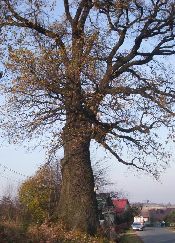 Drzewo – niemy świadek historii