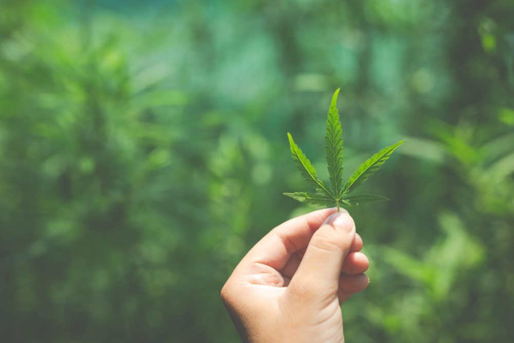 Bibliotekarze promują wiedzę o marihuanie